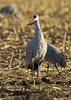 176_Nebraska Sandhill Cranes_03272015