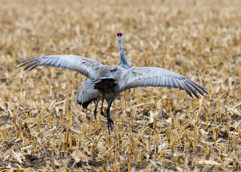 141_Nebraska Sandhill Cranes_03272015 (1)