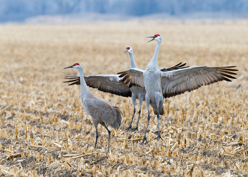245_Nebraska Sandhill Cranes_03272015 (1)
