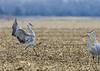 027_Nebraska Sandhill Cranes_03272015 (1)