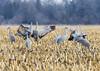 590_Nebraska Sandhill Cranes_03272015