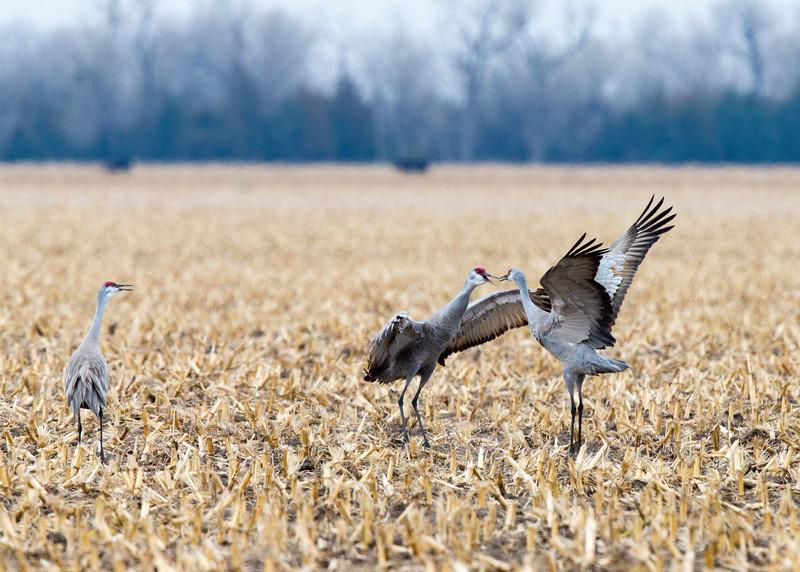 063_Nebraska Sandhill Cranes_03272015 (1)