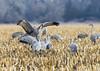 580_Nebraska Sandhill Cranes_03272015