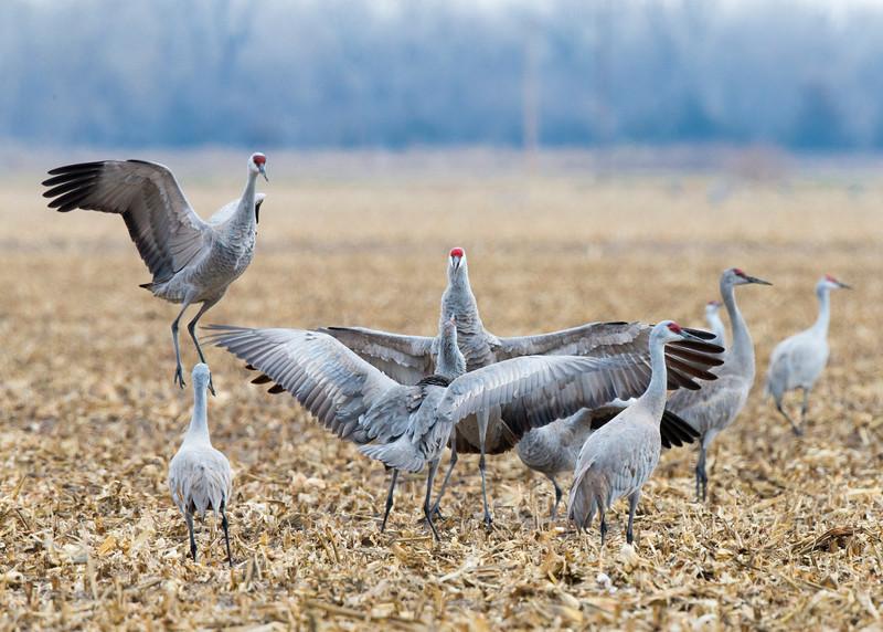 983_Nebraska Sandhill Cranes_03272015
