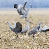 965_Nebraska Sandhill Cranes_03272015