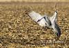 328_Nebraska Sandhill Cranes_03272015-2