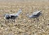 001_Nebraska Sandhill Cranes_03272015 (1)