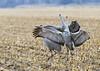 242_Nebraska Sandhill Cranes_03272015 (1)