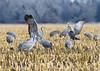 575_Nebraska Sandhill Cranes_03272015