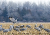 640_Nebraska Sandhill Cranes_03272015