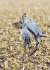 043_Nebraska Sandhill Cranes_03272015 (1)