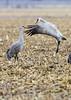 016_Nebraska Sandhill Cranes_03272015 (1)