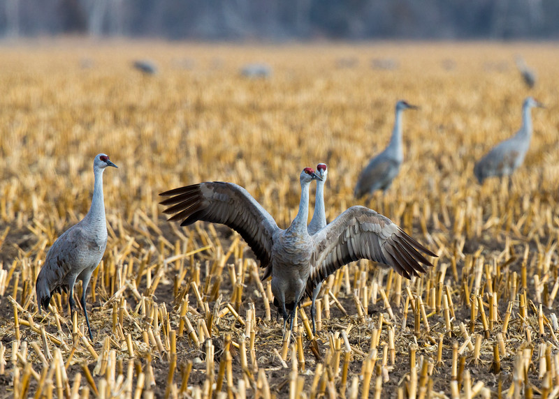 488_Nebraska Sandhill Cranes_03272015