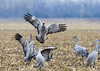 973_Nebraska Sandhill Cranes_03272015