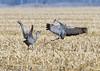 205_Nebraska Sandhill Cranes_03272015 (1)