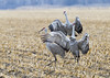 243_Nebraska Sandhill Cranes_03272015 (1)