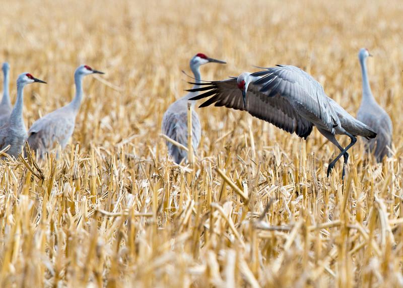 681_Nebraska Sandhill Cranes_03272015