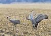 259_Nebraska Sandhill Cranes_03272015 (1)