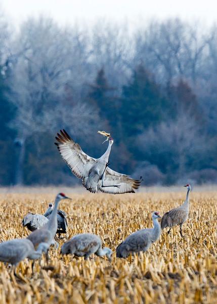 656_Nebraska Sandhill Cranes_03272015