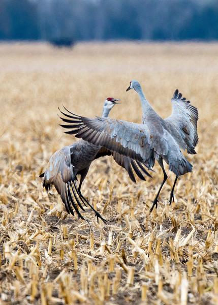 064_Nebraska Sandhill Cranes_03272015 (1)