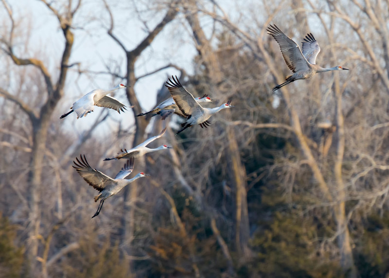 142_Nebraska Sandhill Cranes_03272015
