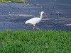 <b>White Ibis</b> <i>(Eudocimus albus)</i>  (August 21, 2004)  The White Ibis is an excellent example of the colonial waterbird. These birds nest in huge colonies in fresh water marshes or along the ocean coast. Researchers have counted 60,000-80,000 individuals in one colony in the Everglades National Park, Florida! During the day, white ibis may fly up to 15 miles or more to find small crustaceans, fish, frogs, and aquatic insects to eat and to feed their young. When breeding, the bill, face, and legs turn scarlet.   White Ibis can be found along the coast of North Carolina to Florida and Texas.