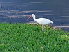 <b>White Ibis</b> <i>(Eudocimus albus)</i>  (August 21, 2004)  The White Ibis is one of the most numerous wading birds in Florida and common elsewhere in the southeast. The White Ibis is highly sociable at all seasons, roosting and feeding in flocks, and nesting in large colonies. This one was walking around in front of my house.