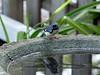 <b>Black-throated Blue Warbler</b> <i>(Dendroica caerulescens)</i> [male]   (October 22, 2006)