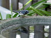 <b>Black-throated Blue Warbler</b> <i>(Dendroica caerulescens)</i> [male]   (October 22, 2006)