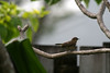 """<b>Palm Warbler</b> <i>(Dendroica palmarum)</i>  (November 8, 2007)  I came home to find this little one in my bird bath.  By the time I came back with my camera, he was through with his bath but at least he didn't take off before I could get a picture or two.    The following information can be found at <a href=""""http://www.birds.cornell.edu/AllAboutBirds/BirdGuide/Palm_Warbler.html"""" target=""""_blank""""> <b>Cornell Lab of Orinthology</a></b>:  The rusty-capped Palm Warbler can be most easily recognized by the tail-wagging habit that shows off its yellow undertail. It breeds in bogs and winters primarily in the southern United States and Caribbean.  The Palm Warbler is found in two different forms. Birds that breed in the western part of the range are duller, and have whitish bellies. Those breeding in the eastern part of the range are entirely yellow underneath.  Despite its tropical sounding name, the Palm Warbler lives farther north than most other warblers. It breeds far to the north in Canada, and winters primarily in the southern United States and northern Caribbean."""