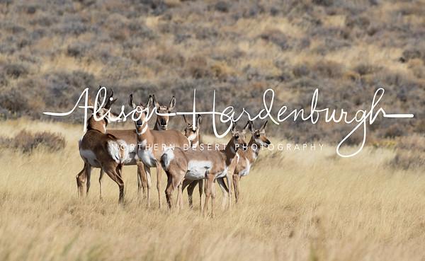 Pronghorn on the Sheldon National Wildlife Refuge