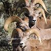 Hart Mountain Bighorns