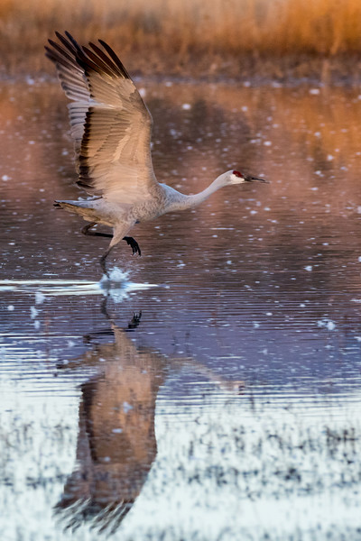 Sandhill Crane Running on Water