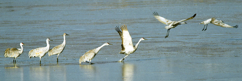 The Seven Stages of a Sandhill Crane Takeoff