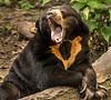 Audubon Zoo - Sunbear