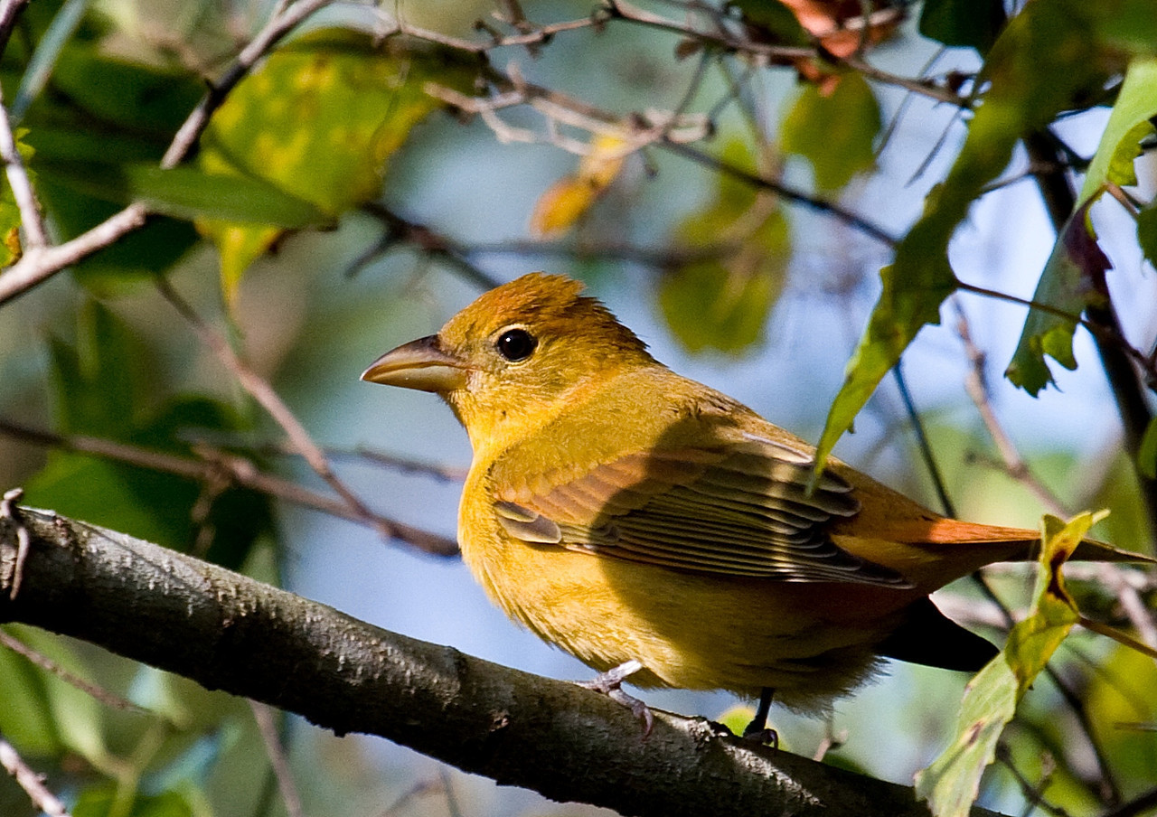 summer tanager female