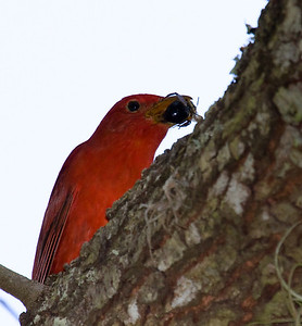 summer tanager male