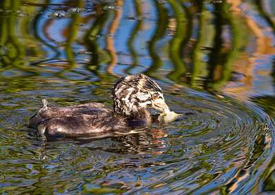 pied billed grebe juvi