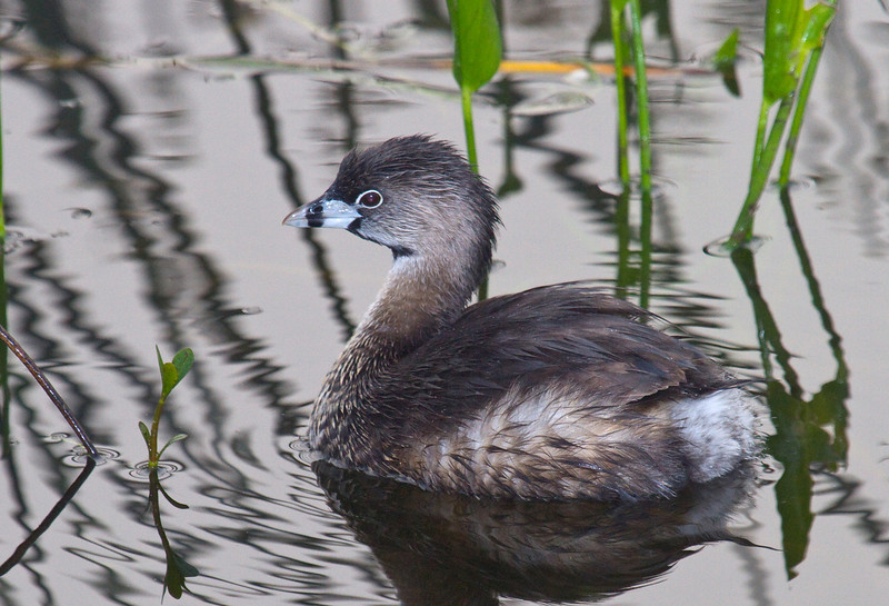 pied billed grebe