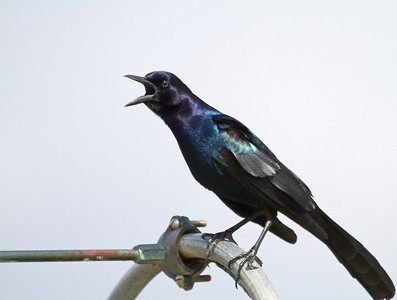 boat tailed grackle