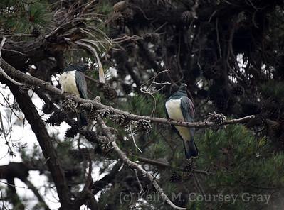 2 kereru in the trees 1