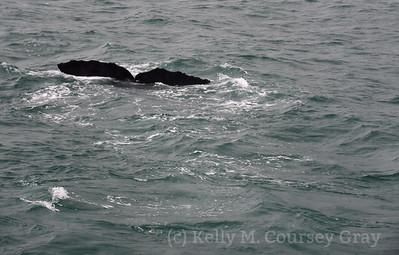 K Sperm Whale fluke 12