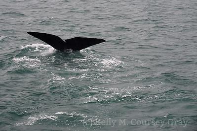 K Sperm Whale fluke 10
