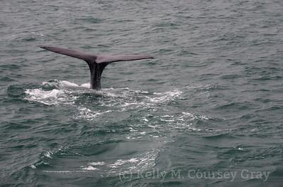 K Sperm Whale fluke 6