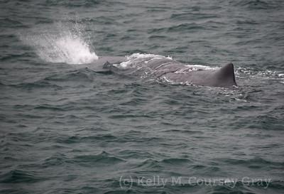 K Sperm whale spout 2