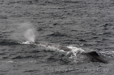 breathing sperm whale 1