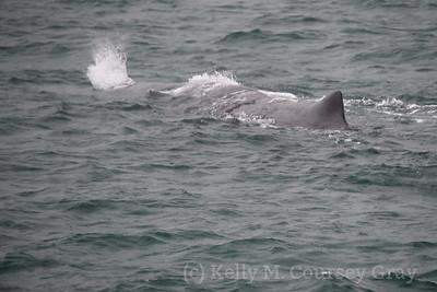 K Sperm Whale spout 1