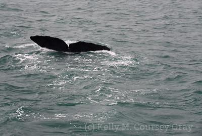 K Sperm Whale fluke 11