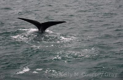 K Sperm Whale fluke 9