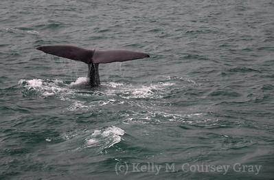 K Sperm Whale fluke 5